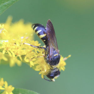 Square-headed wasp