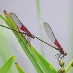 american rubyspot dragonflies
