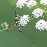 Icneumon Wasp, Arotes