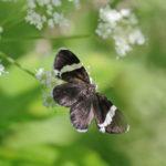 White-Striped Black Moth