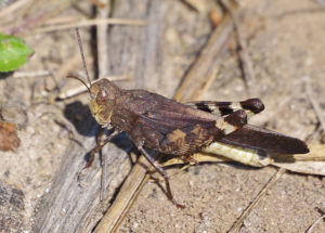 Sulphur Winged Grasshopper
