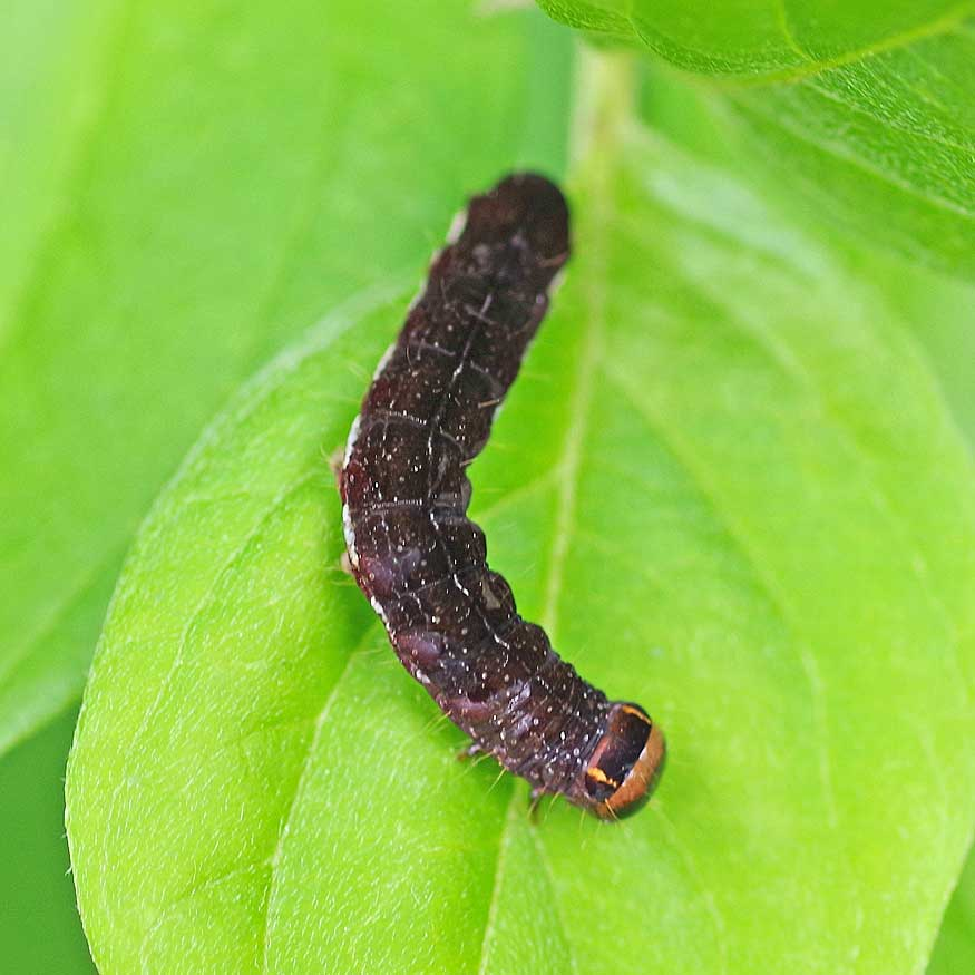 caterpillar of the Straight-toothed sallow moth