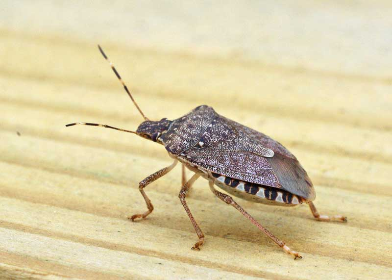 Brown-Marmorated Stink Bug