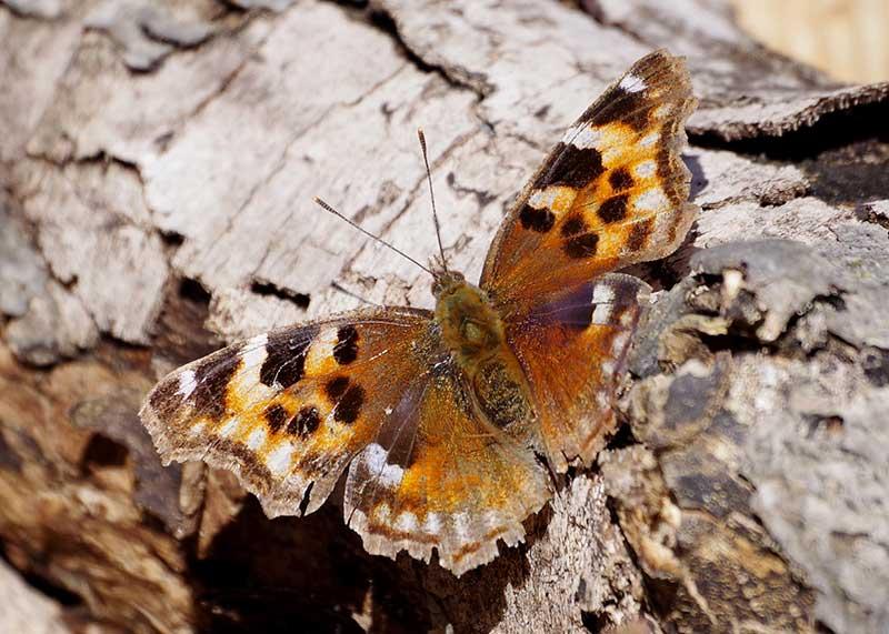 Compton Tortoiseshell butterfly