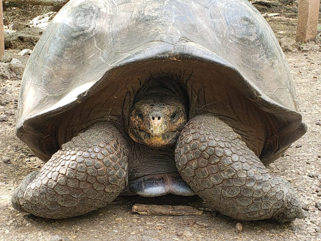 A tortoise finds shelter within the Galapagos National Park on San Cristobal Island