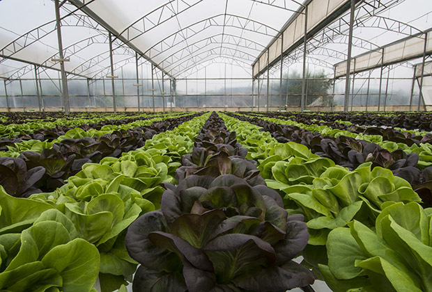 Rows of lettuce grow in a large greenhouse.