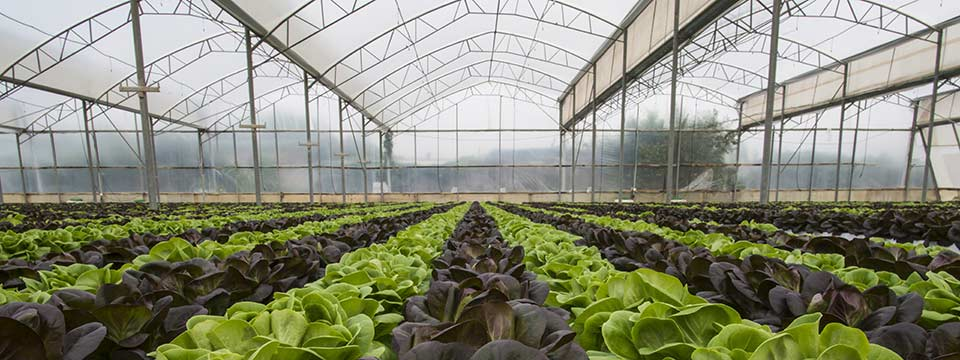 Rows of cabbage being grown indoors.