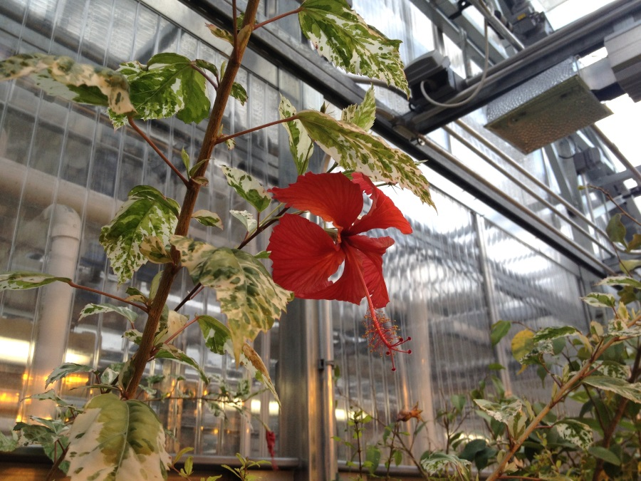 Red flower in greenhouse