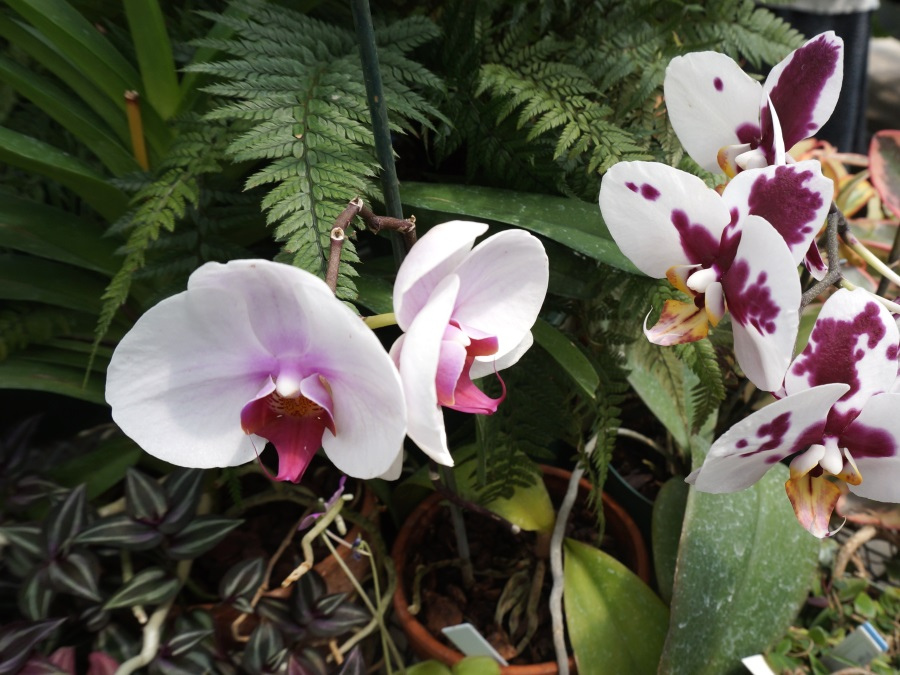 Orchids at UWM greenhouse