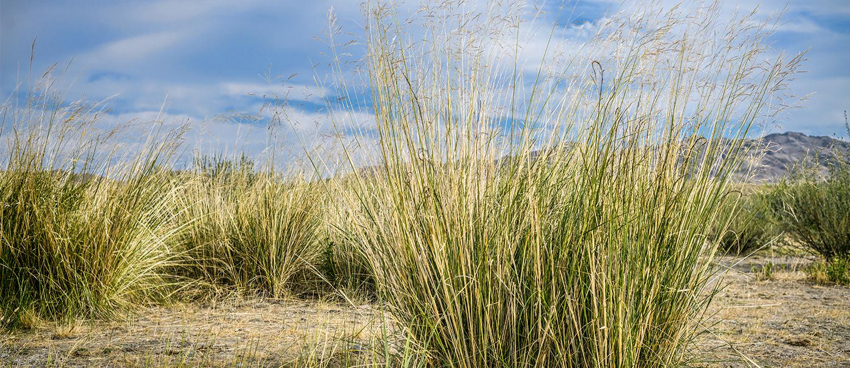 Image of switchgrass