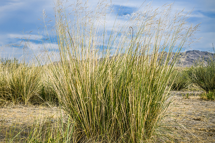 Image of switchgrass
