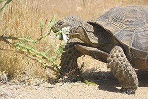 A desert tortoise eats a plant.