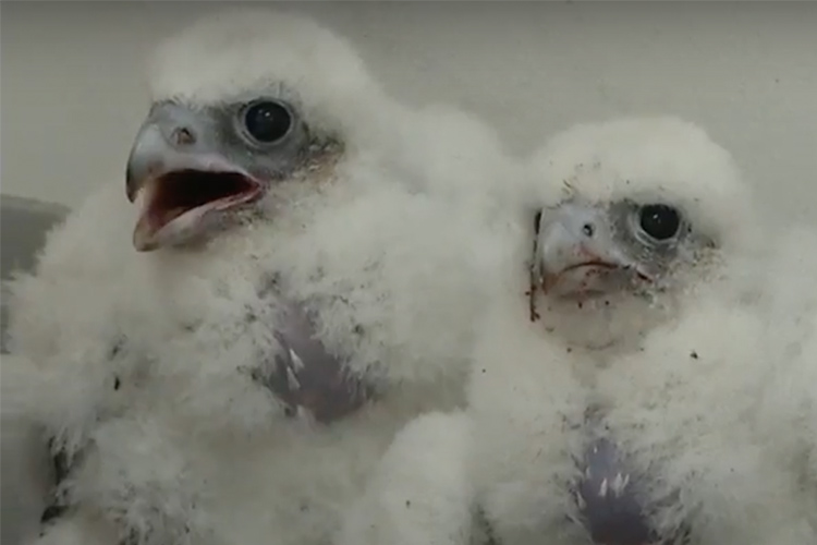 Two baby falcons are pictured. They have gray beaks and are covered in fluffy, white down.