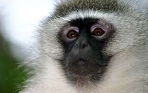 A vervet monkey in closeup.