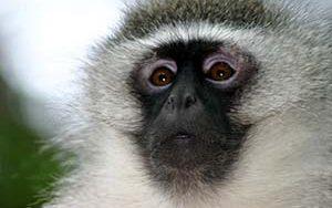A vervet monkey in closeup.