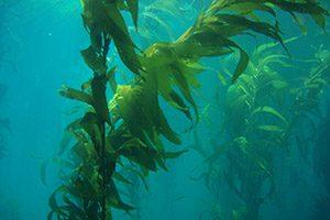 An underwater photo of kelp.