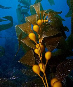 An underwater photo of kelp.
