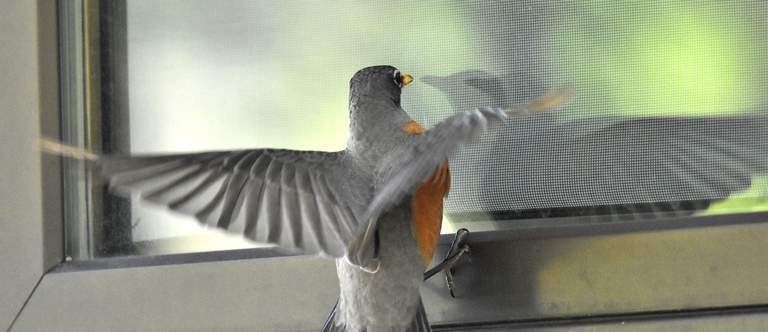 A robin flying against a closed window