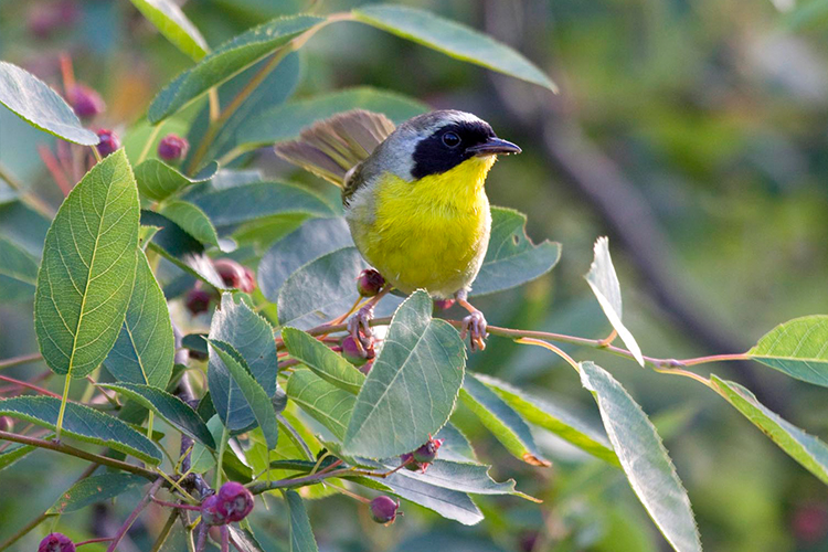 Photo of a male tree swallow with bright yellow plumage.