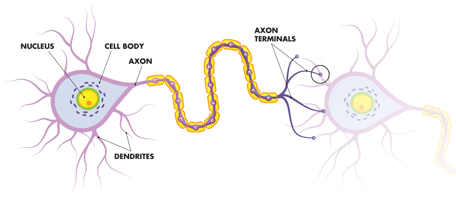 Illustration showing the structure of brain cells, or neurons.