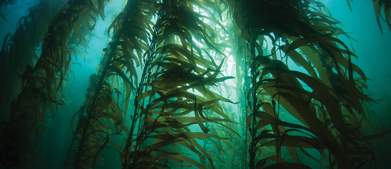 photo of giant kelp