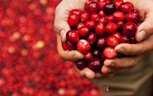 A closeup of someone holding two handful of cranberries.