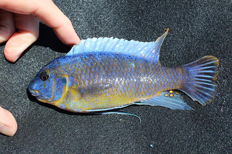 An image of blue Labeotropheus.
