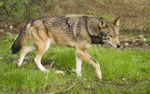 A red wolf walks on grass.