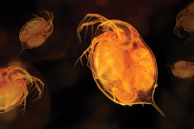 Close-up of daphnia or small zooplankton