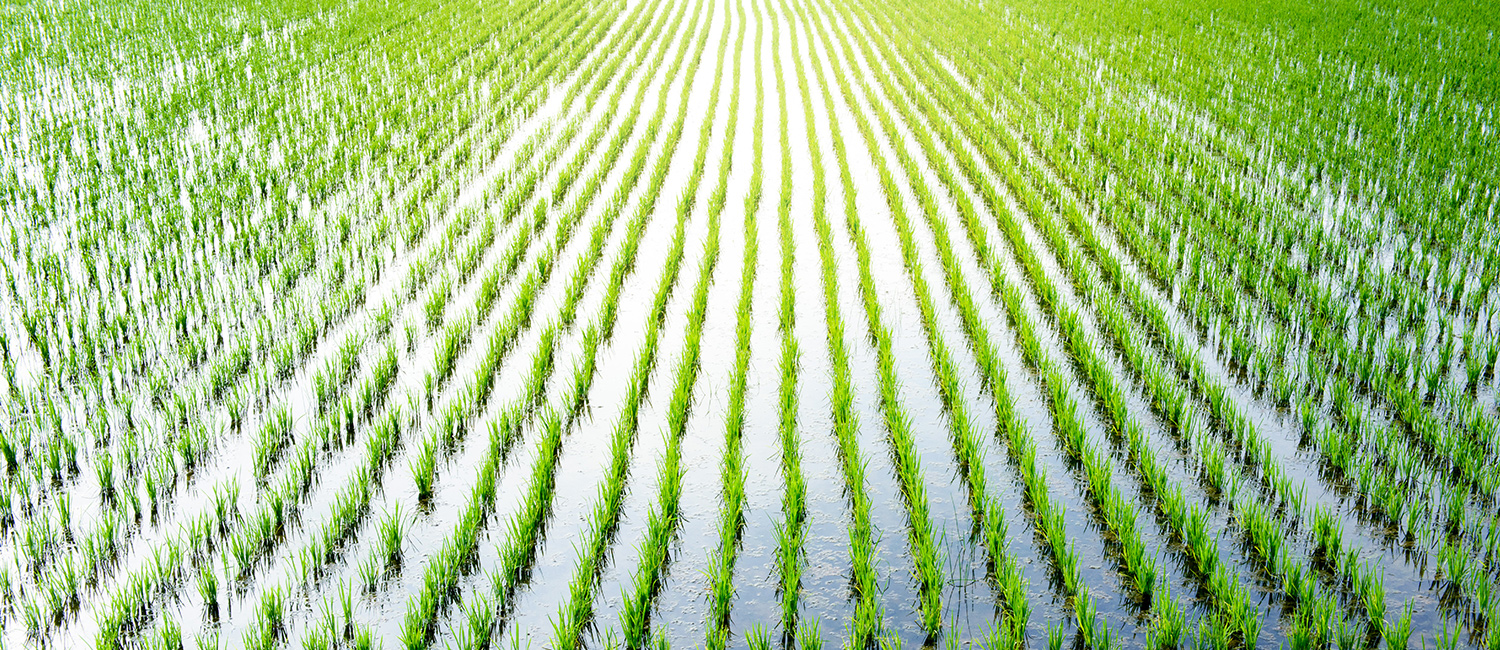 A rice paddy