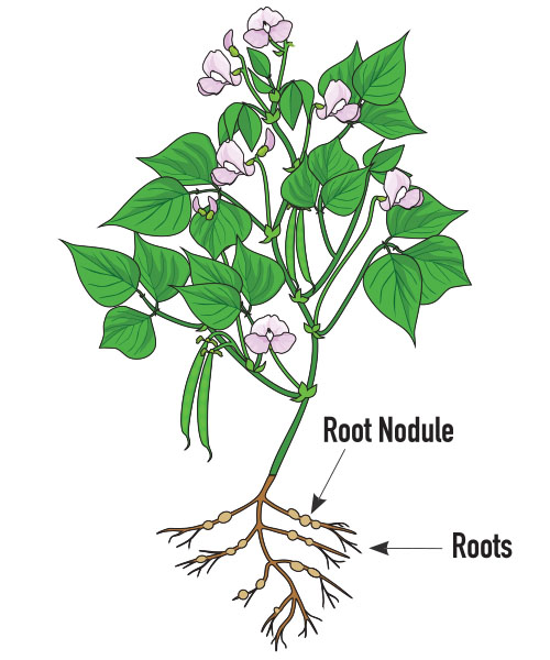 Graphic of soybean plant and roots