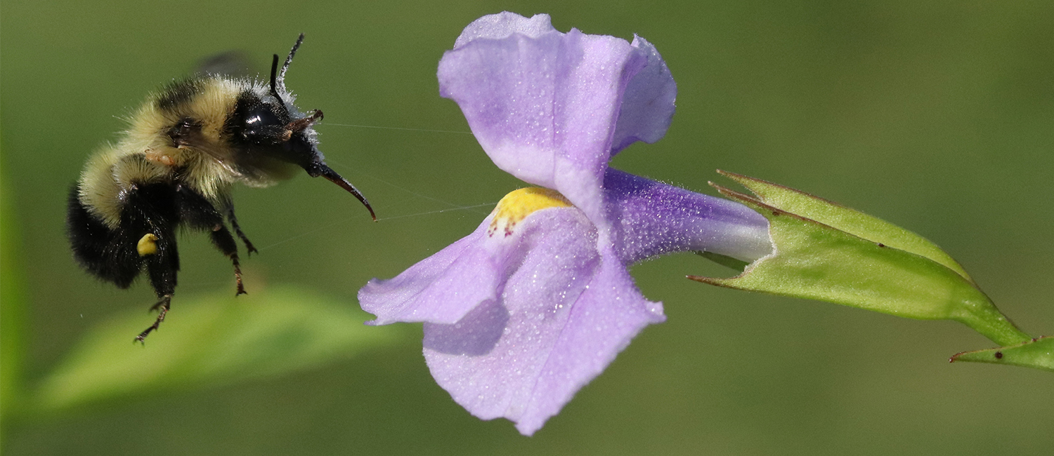 A bee landing on a purple flower