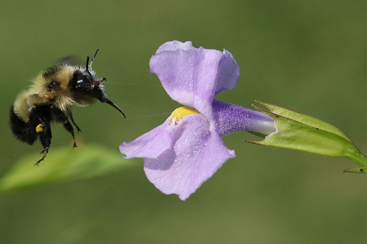 Bee visiting a purple flower