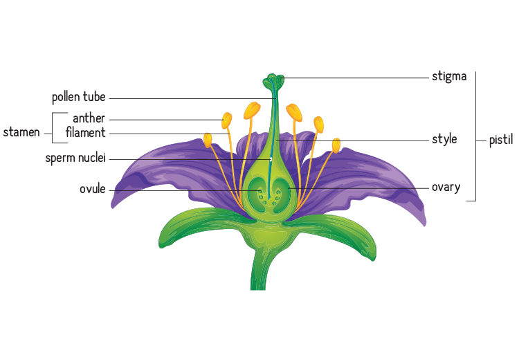 Illustration of a flower with parts labeled