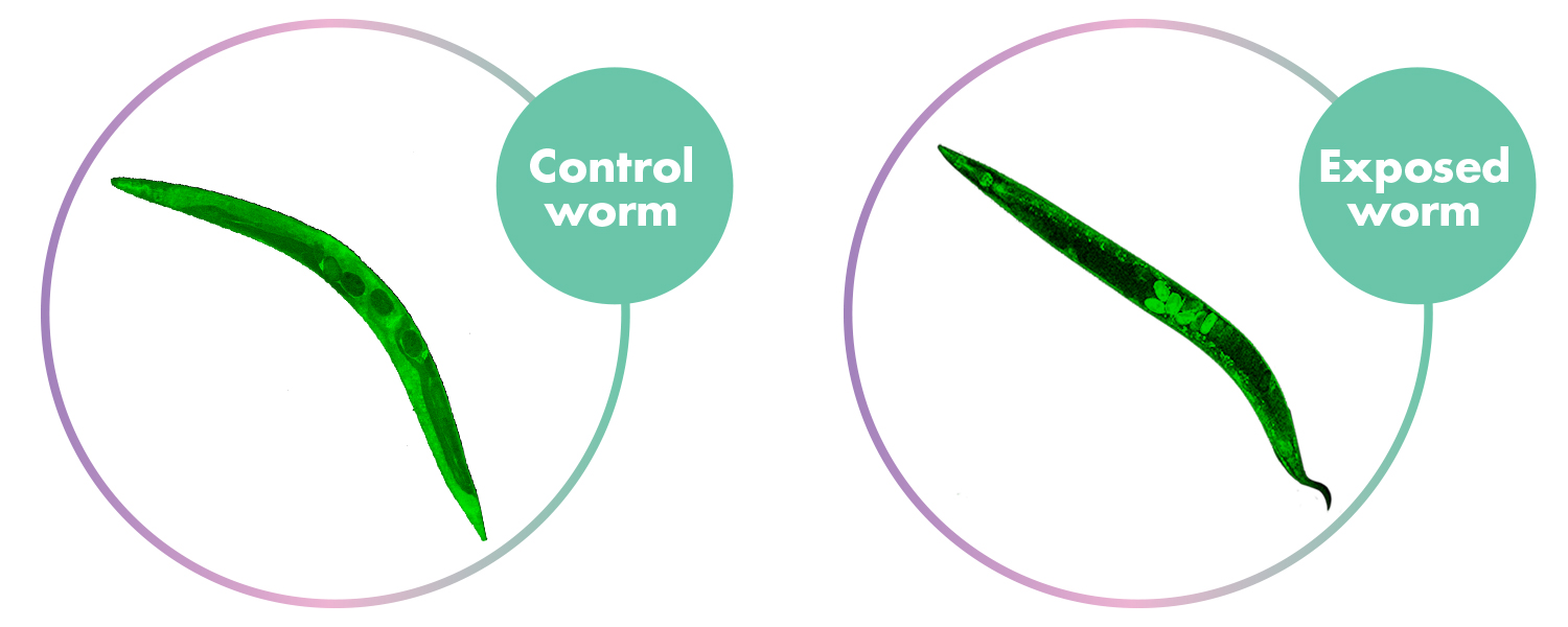 Two worms used in research