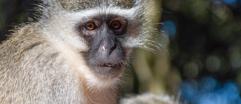 Picture of a vervet monkey