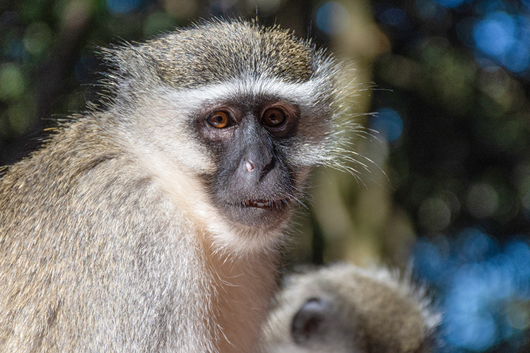 A picture of a vervet monkey