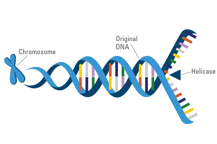 Illustration of how helicase functions with DNA