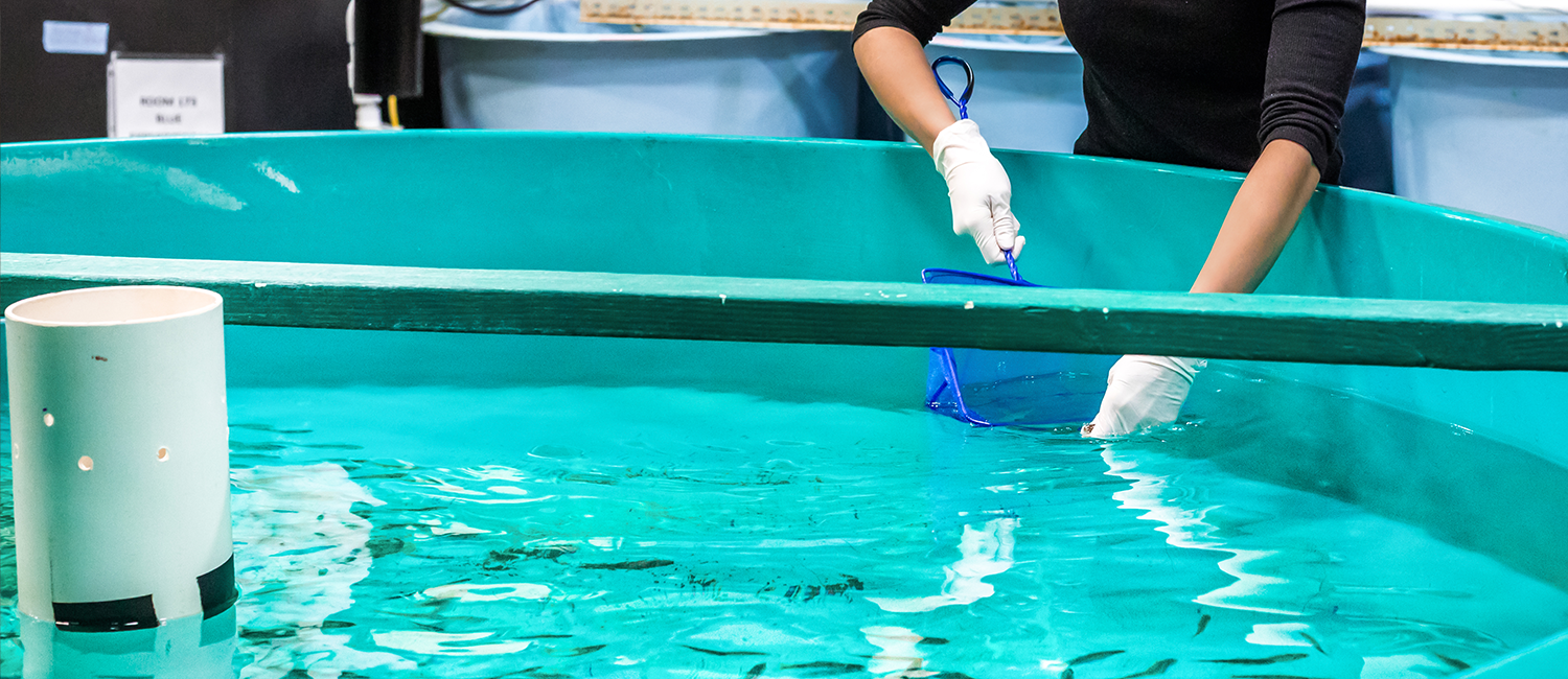 Researcher wearing gloves scooping fish in a research lab tank