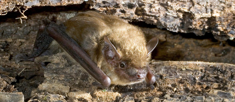 Photo of a brown bat.