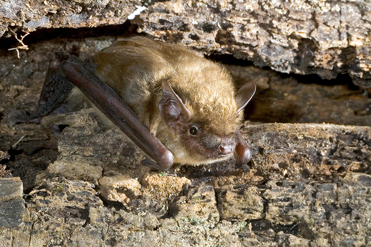 Photo of a brown bat.