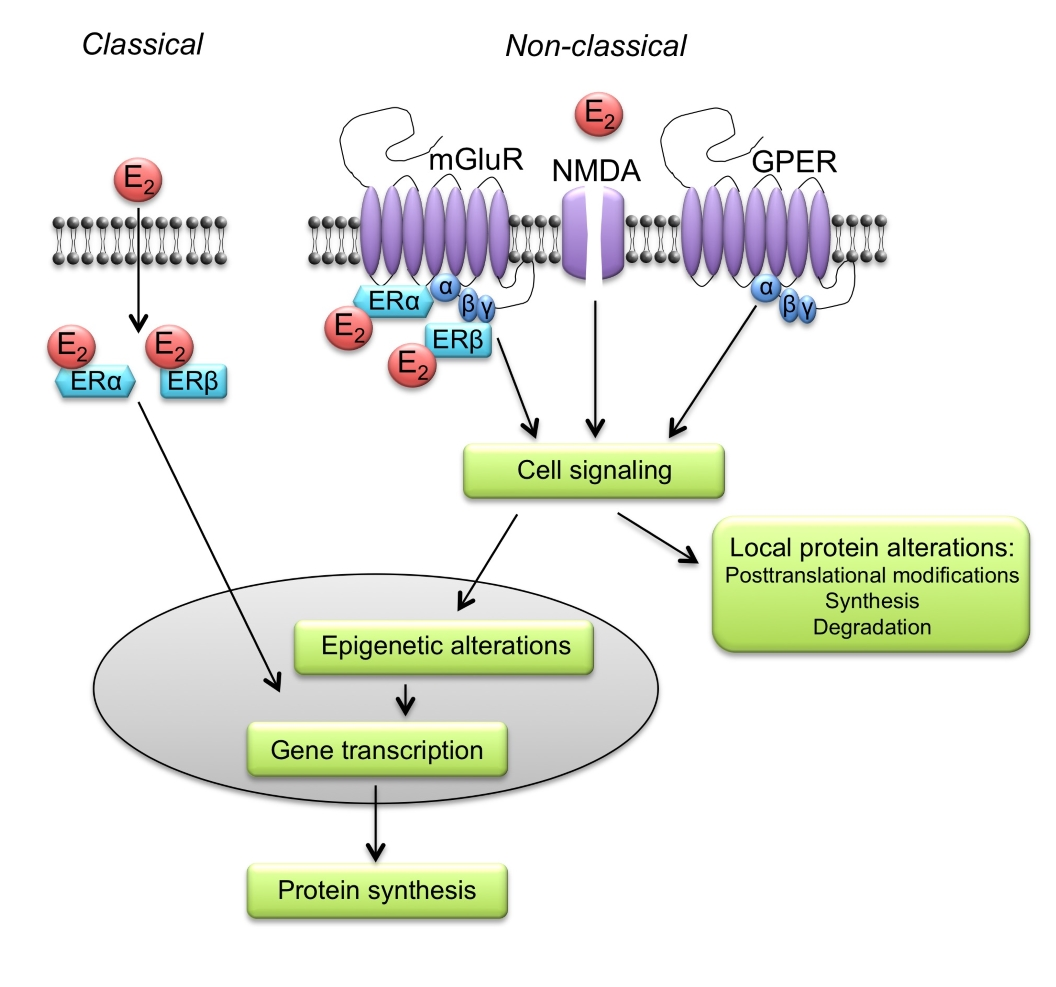 Do sex steroid hormones matter for learning and memory? A review ...