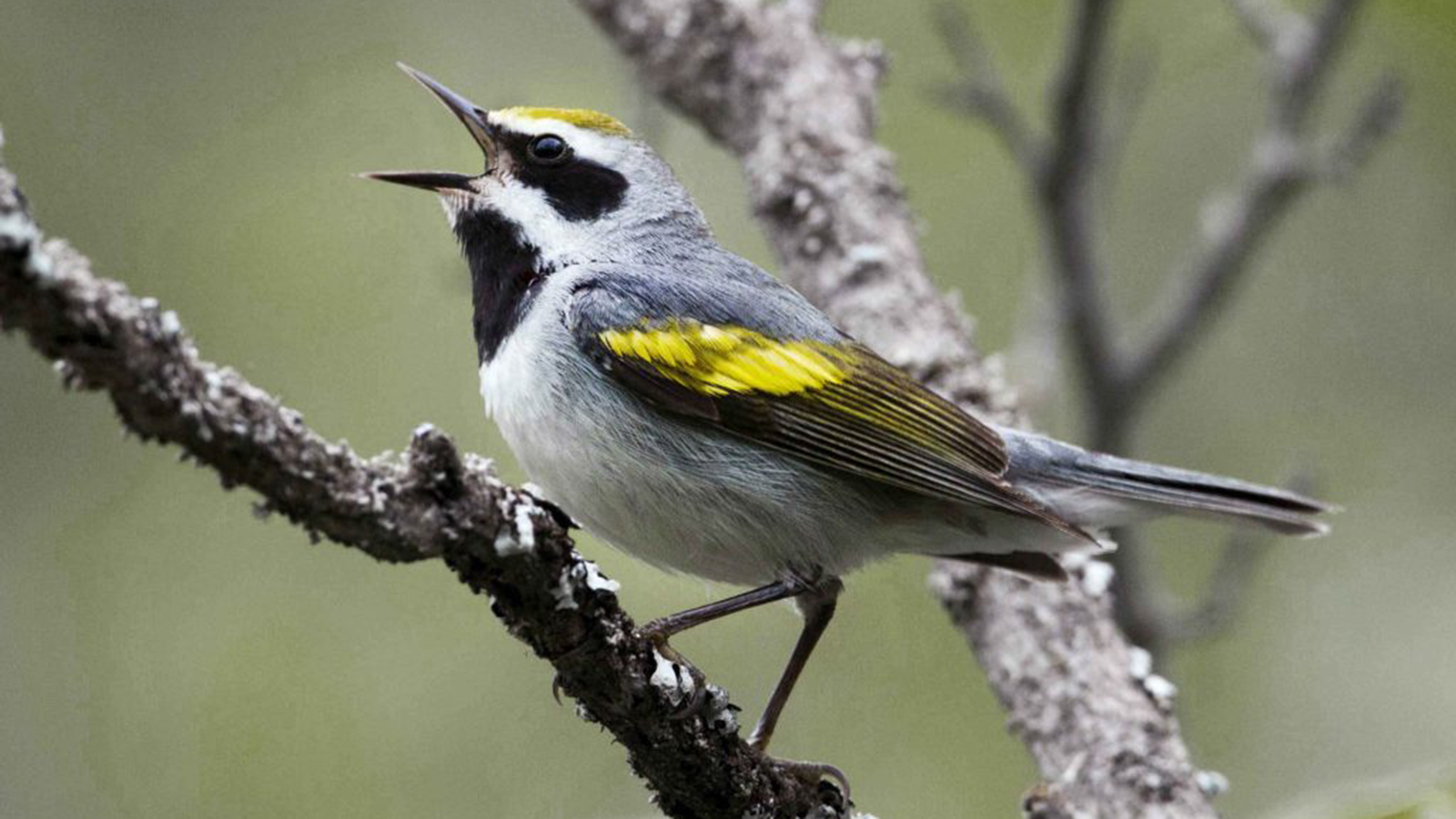 a white, black and yellow bird standing on a tree branch